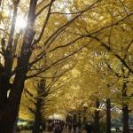 銀杏並木(IN昭和記念公園)