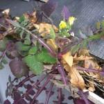 【雨どい掃除】雨どいにタンポポが咲いている!長持ちさせるには早めの掃除が大切です。