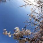 お花見☆2015