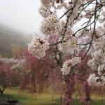 雨のお花見☆伊豆高原