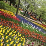 チューリップ☆昭和記念公園にて・・・