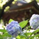 紫陽花だより☆今年の夏は雨が多いらしい?