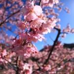 100万人が足を運ぶ河津桜まつり