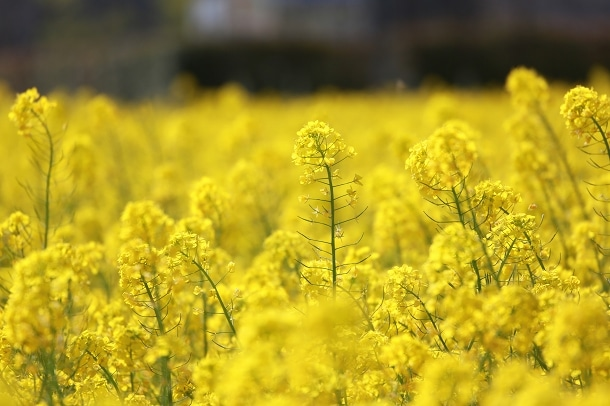 3ヘクタールの黄色のじゅうたん、南伊豆町の菜の花畑に行ってみた!!